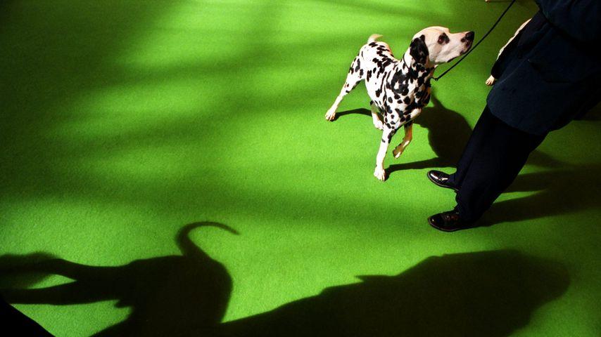 A Dalmatian parades at the Crufts International Dog Show at the National Exhibition Centre, Birmingham