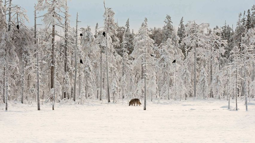 Gray wolf with flock of ravens in Finland