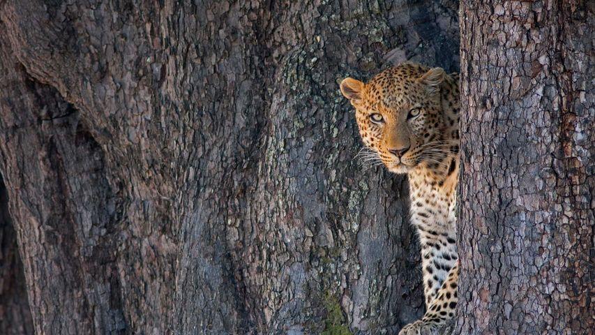 Male leopard in Linyanti Wildlife Reserve, Botswana