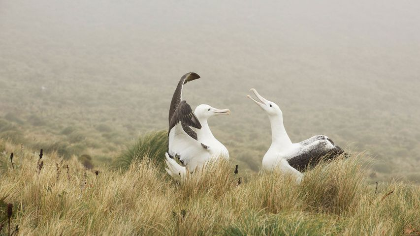 Couple d'albatros royal jouant sur l'île Campbell, Nouvelle-Zélande