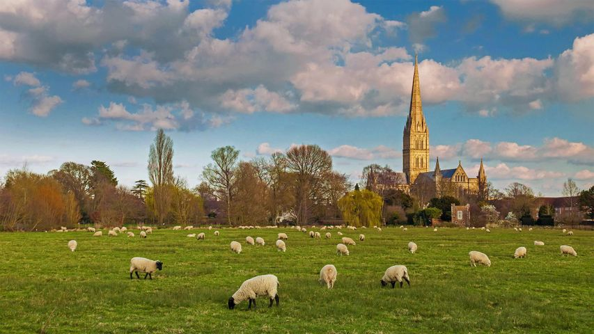 Salisbury Cathedral with flock of grazing sheep, England