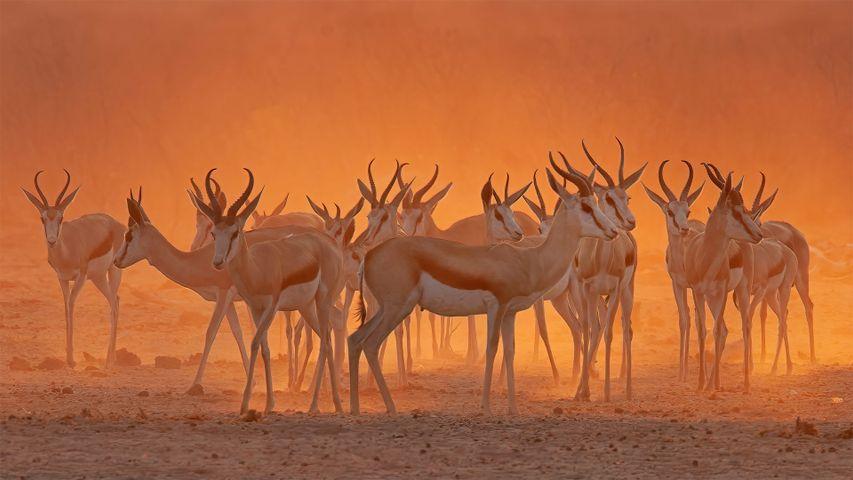 Springboks near a waterhole in Etosha National Park, Namibia