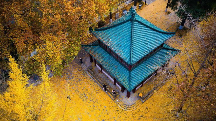 Golden ginkgo leaves at Xuanwu Lake Park in Nanjing, Jiangsu province, China