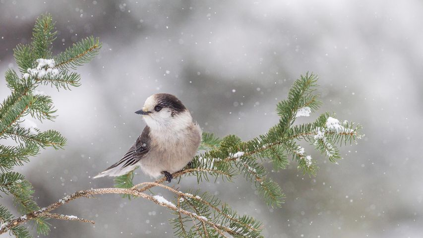 Gray Jay (Perisoreus canadensis) resting on a branch at Algonquin Provincial Park, Ont.