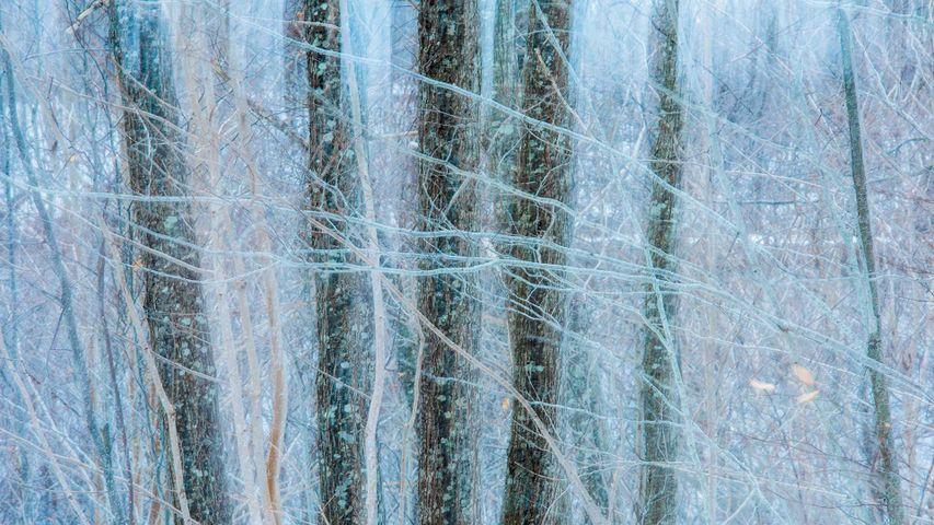 Oak (quercus sp) trees in winter, Nova Scotia