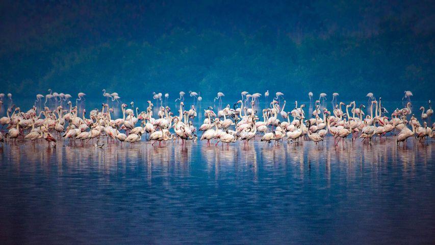 Migrating flock of flamingos in Mumbai