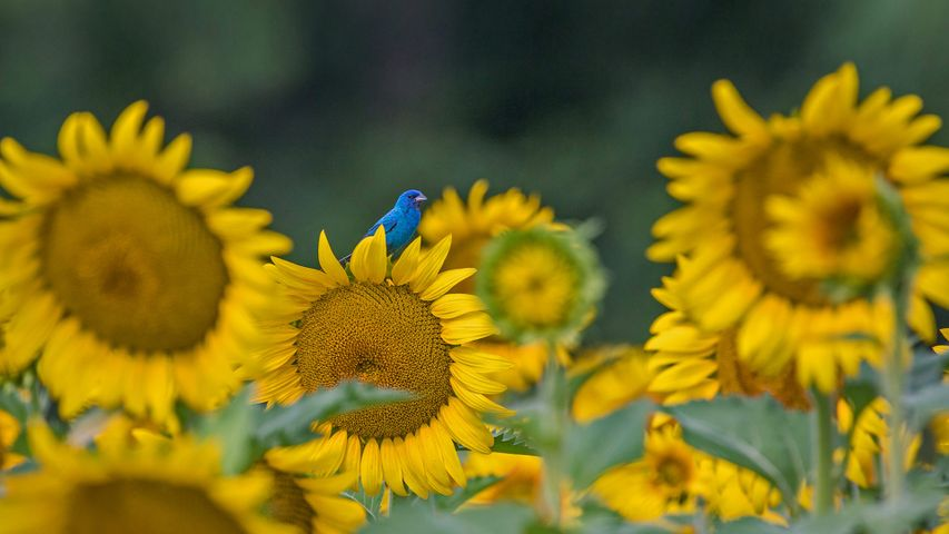 An indigo bunting on a sunflower