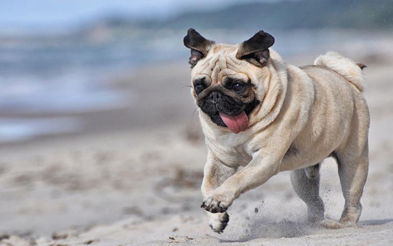 Lovable Pugs Windows 10 Theme
