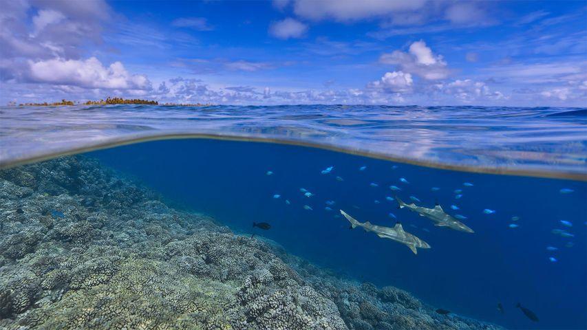 大溪地海岸附近的乌翅真鲨,法属波利尼西亚