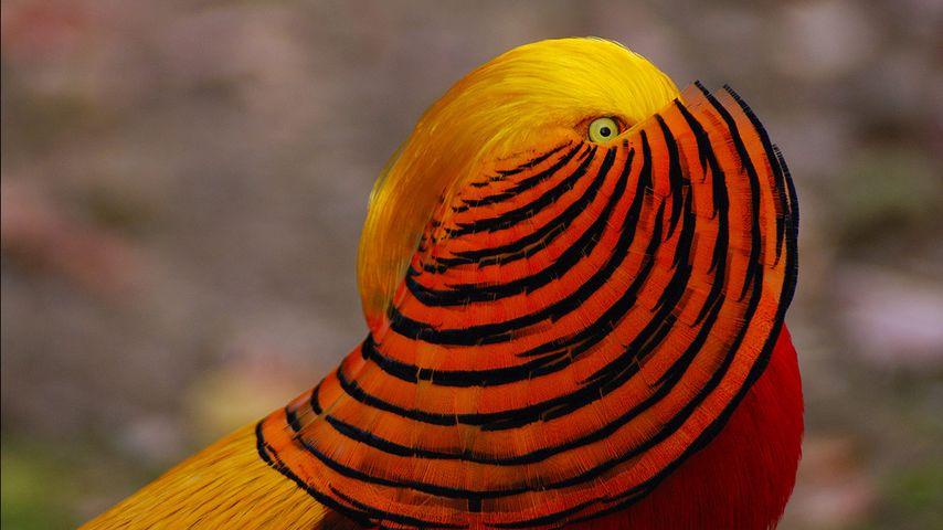 一只雄性红腹锦鸡