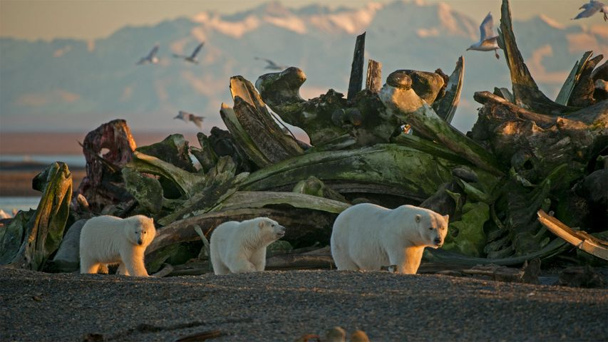 A polar bear sow and her cubs in Alaska's Arctic National Wildlife Refuge
