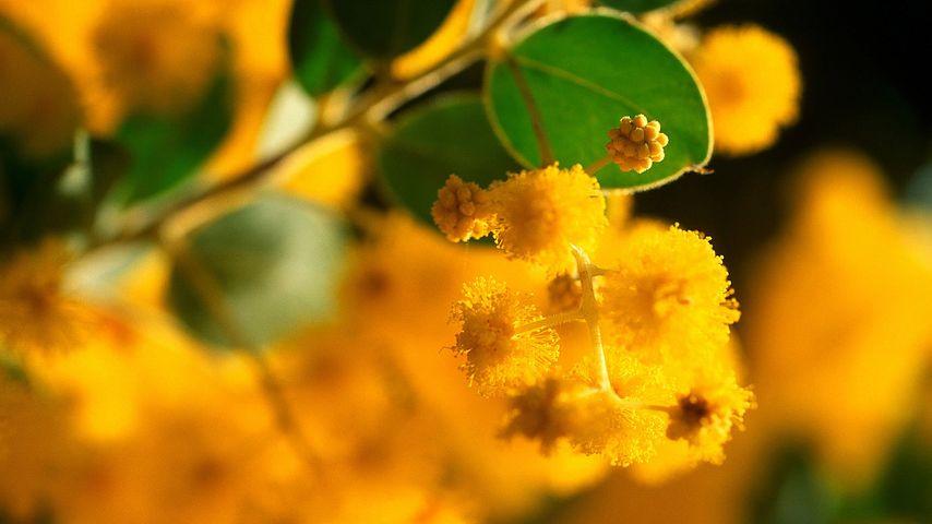 Acacia pycnantha, or Golden Wattle