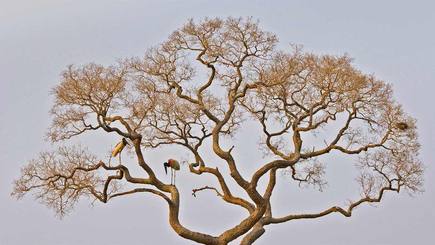Jabiru storks in the Pantanal of Brazil