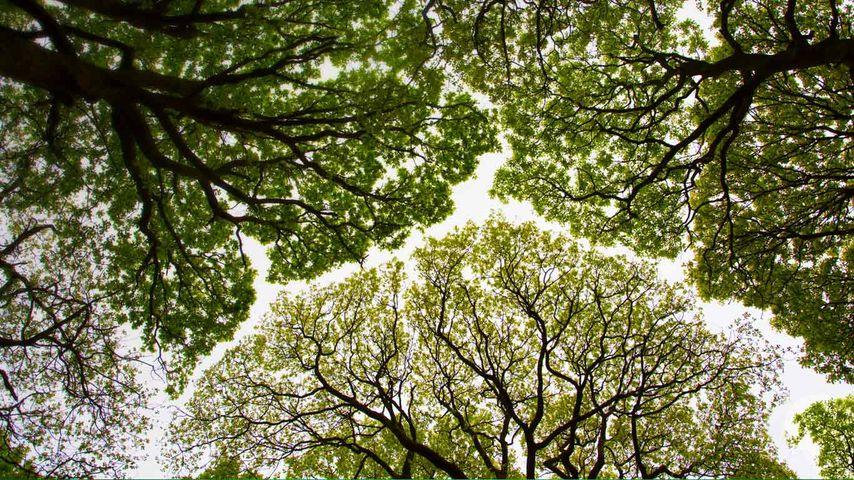 英国,坎布里亚,Roudsea森林里的橡树树冠