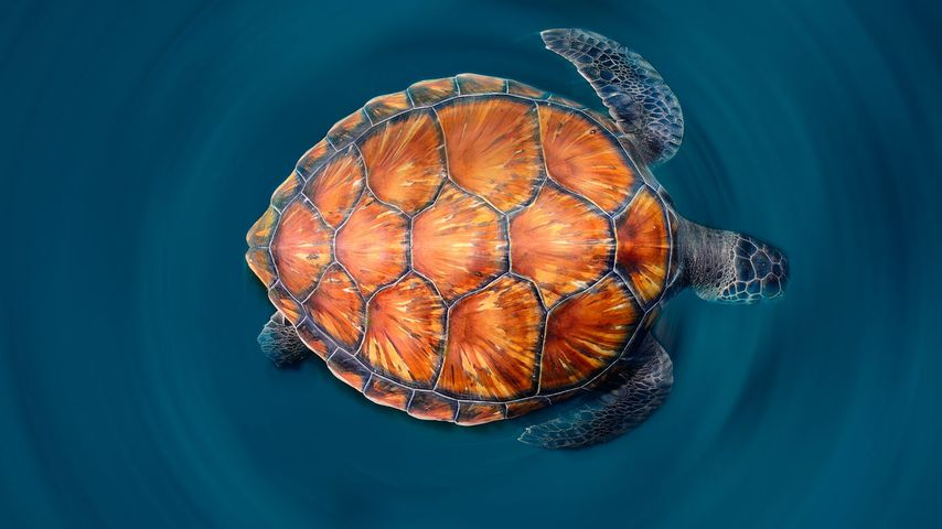 A green sea turtle shows off its shell