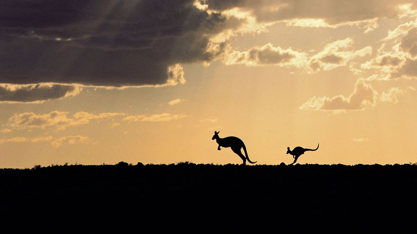 Silhouette of red kangaroos in Sturt National Park, New South Wales