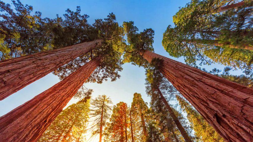 Riesenmammutbäume im Sequoia-Nationalpark und Kings-Canyon-Nationalpark, Kalifornien, USA