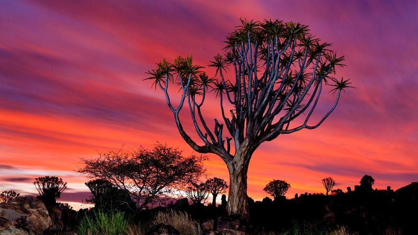 Forêt de kokerboom (aloe dichotoma) près de Keetmanshoop, Namibie