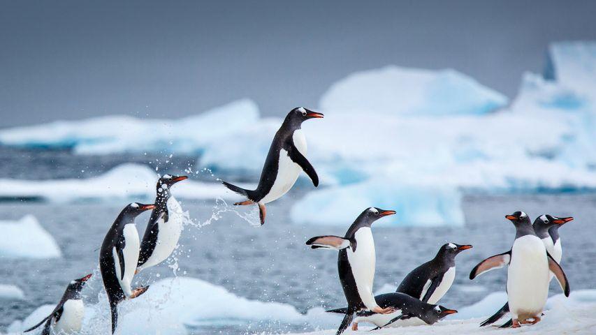 Gentoo penguins near Danco Island, Antarctica