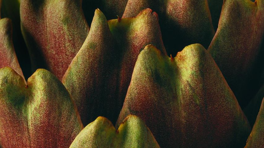 Close-up of an artichoke