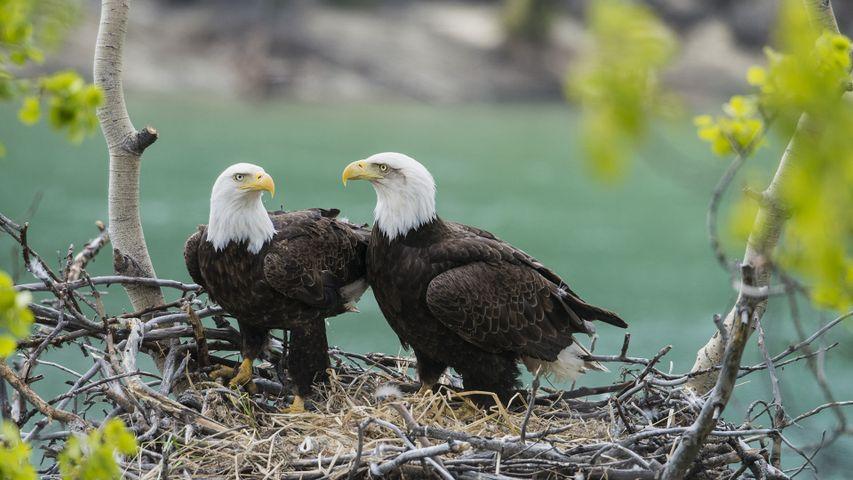 A pair of adult bald eagles (Haliaeetus leucocephalus) with chick at Yukon River, Yukon