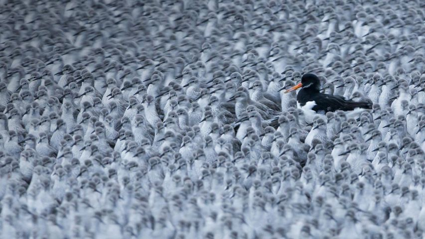 A Eurasian oystercatcher among a flock of roosting knots in Snettisham, Norfolk