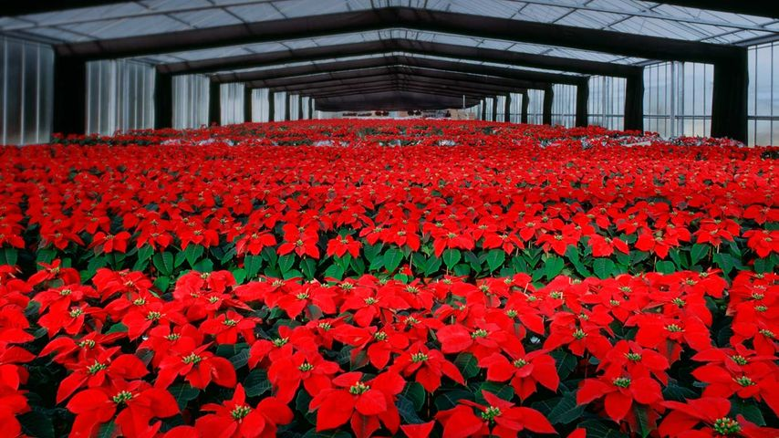 Poinsettia flowers cultivation in greenhouse