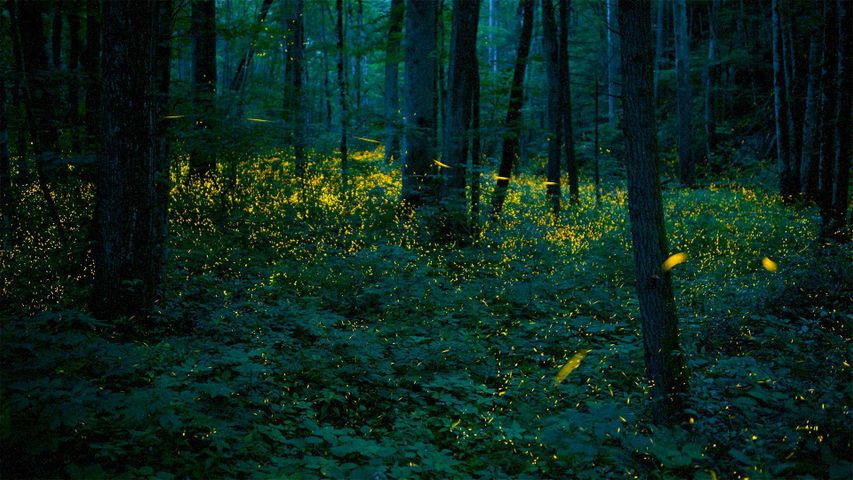 Synchronous fireflies illuminate the forests of Great Smoky Mountains National Park, Tennessee, USA