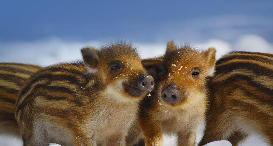 Wild piglets in Schleswig-Holstein, Germany