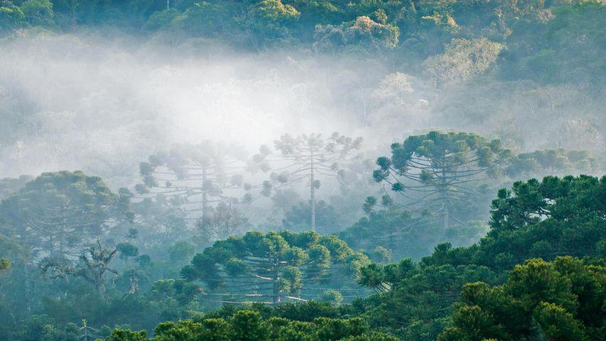 大西洋沿岸森林的巴西松