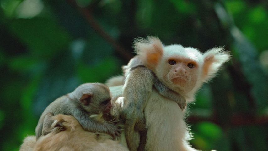 A golden-white tassel-ear marmoset (aka gold-and-white marmoset) and his young in the Amazon Rainforest, Brazil