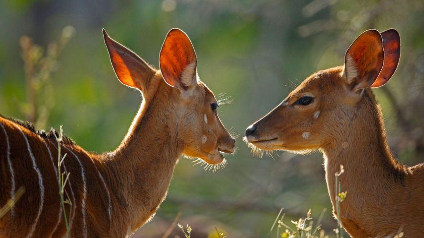 克鲁格国家公园内的雌性安氏林羚,南非