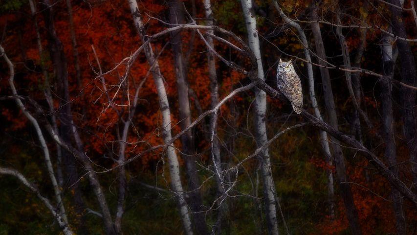 Great Horned Owl sitting on an Aspen tree, Alberta, Canada