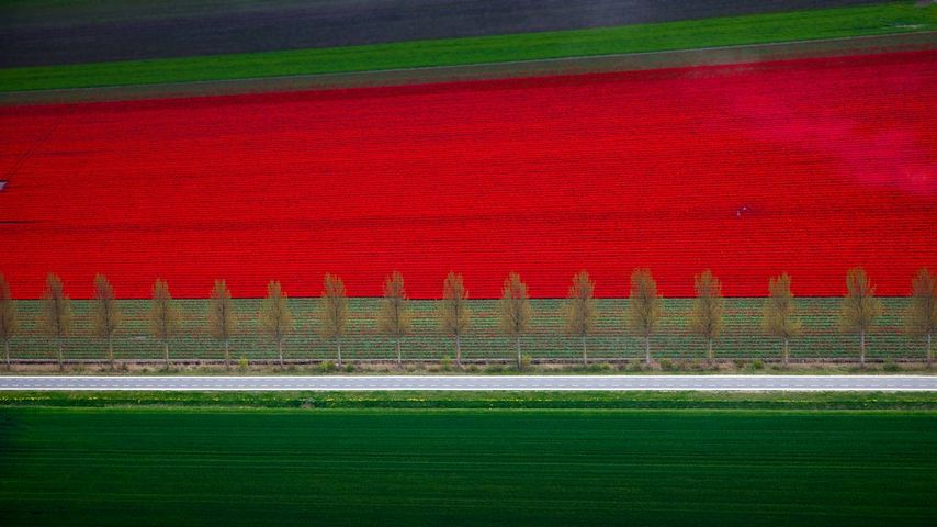 Tulip fields in Noordoostpolder, Netherlands