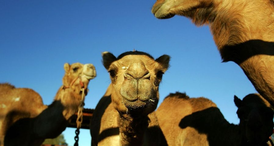Camels gather in the pit before the start of the 2007 Camel Cup in Alice Springs, Australia