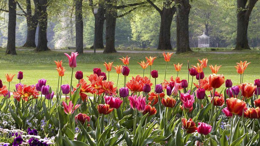Tulpen, Baden-Baden, Baden-Württemberg, Deutschland