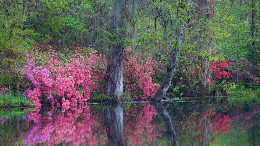 Azaleas floreciendo en los jardines de la Plantación Magnolia, Charleston, Carolina del Sur