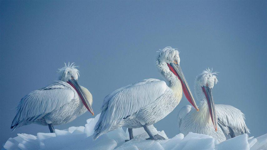 Dalmatian pelicans on ice, Lake Kerkini, Greece