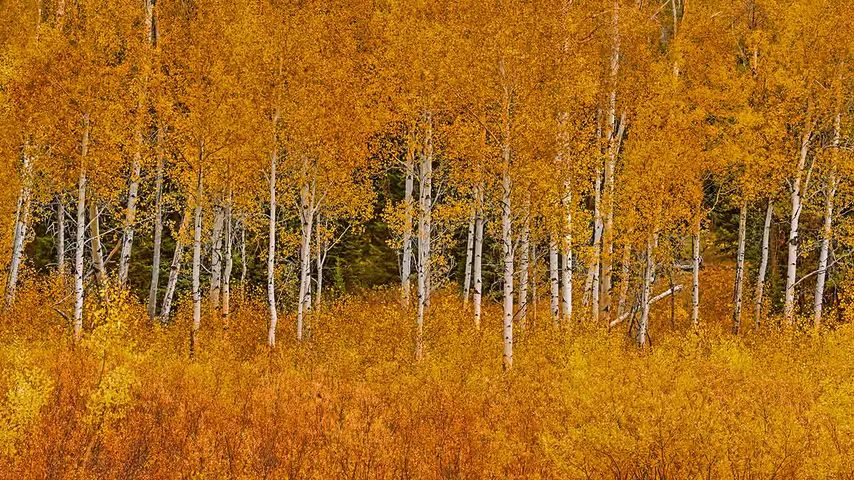 Autumn aspens in Grand Teton National Park, Wyoming