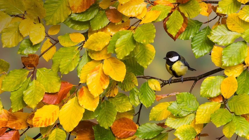 A great tit perched on a branch