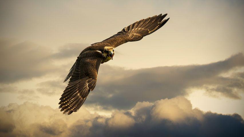 bird sky animal outdoor bird of prey flying falcon eagle