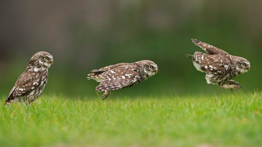 A little owl hunting on the ground