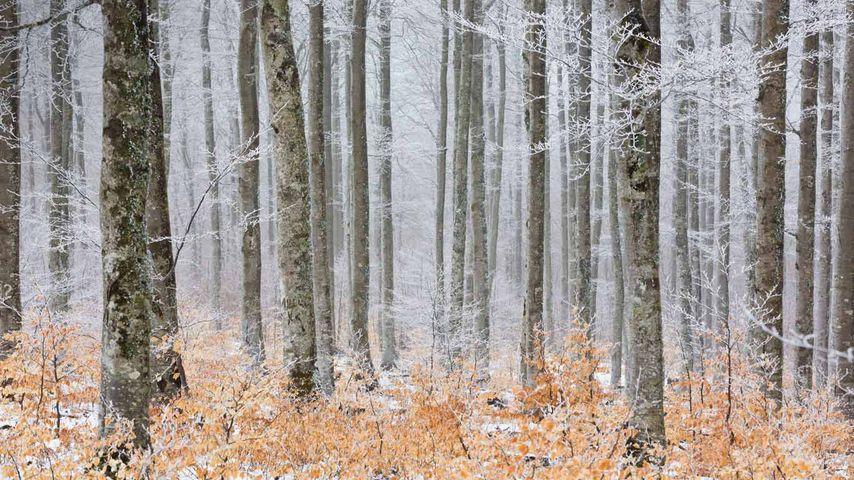 Forêt gelé, sentier de la Serreyrède dans le parc national des Cévennes