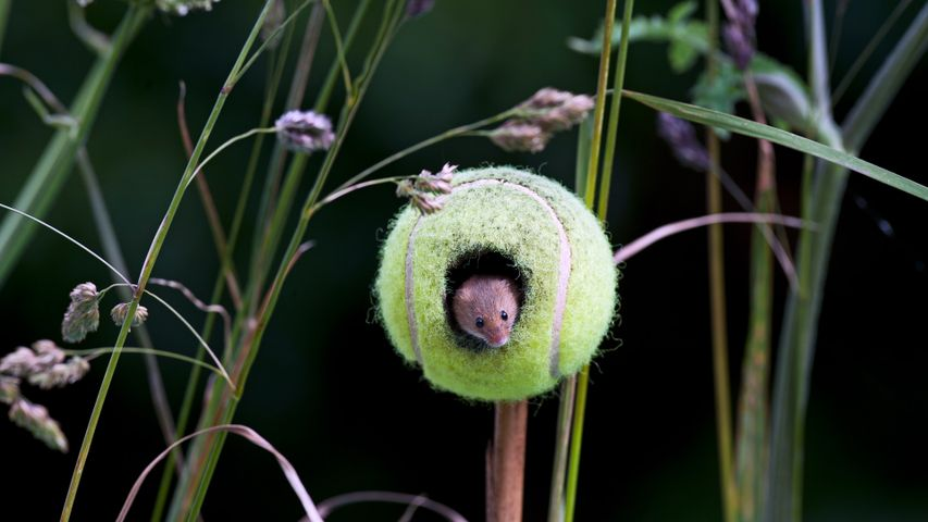 A harvest mouse living in a tennis ball in Thetford, Norfolk