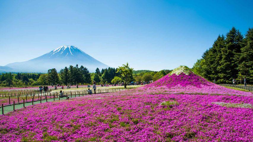 「富士芝桜まつり」山梨, 富士河口湖町