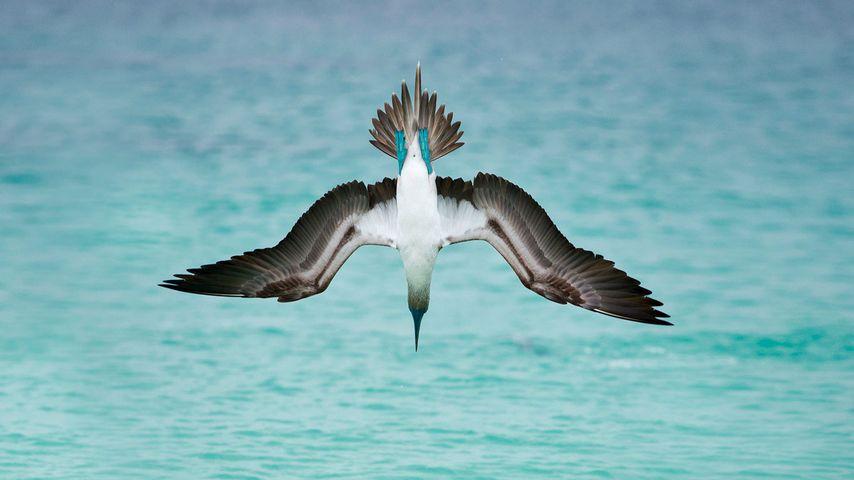 一只在圣克里斯托巴尔岛潜水的蓝脚鲣鸟,厄瓜多尔