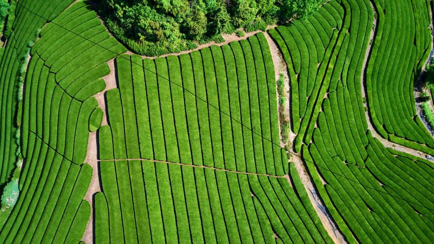 「宇治の茶畑」京都府, 宇治市