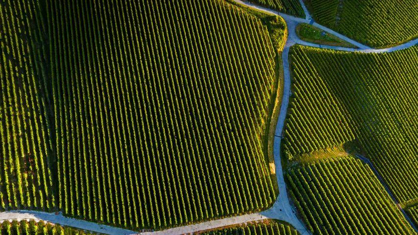 皮利附近的葡萄庄园,瑞士沃州