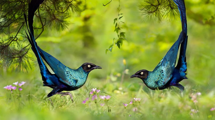 Long-tailed glossy starlings