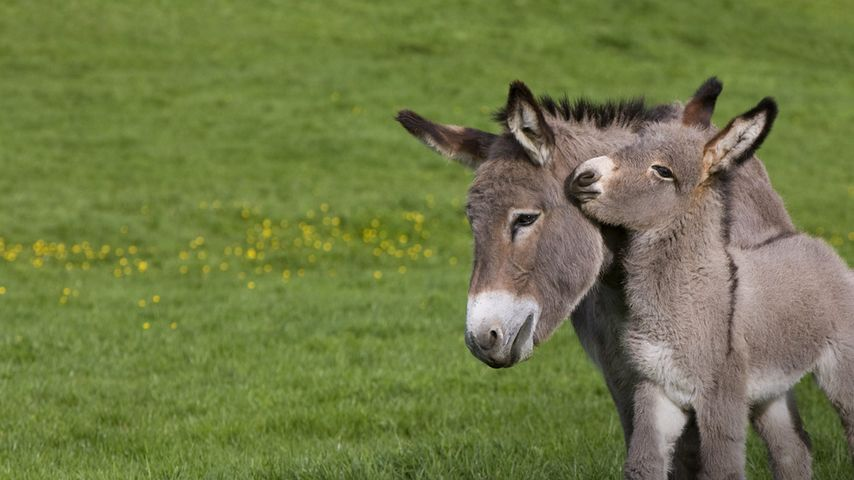 Cotentin donkey and foal in Normandy, France